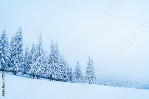 Foto op Aluminium Lichtblauw Winter in the mountain spruce forest