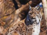 Lynx in park - 175183735