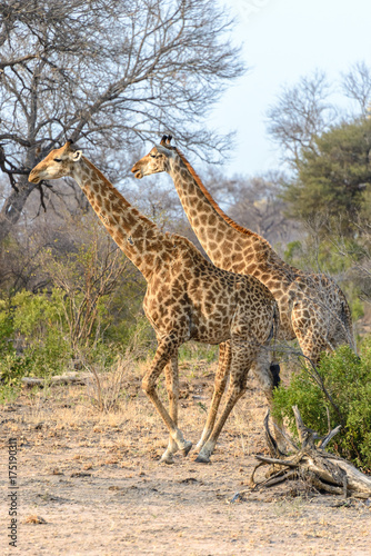 South African giraffes in Kruger National Park, South Africa Poster