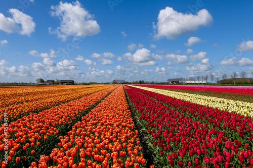 Fotobehang Tulpen Tulip field