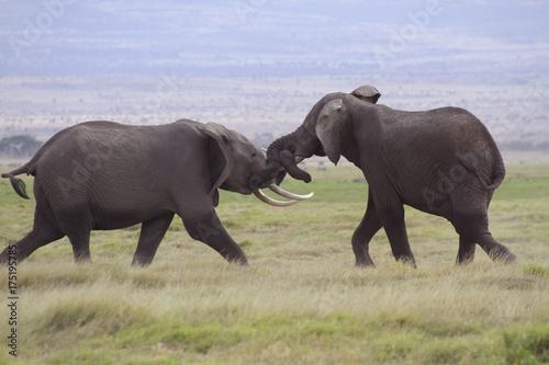 Kämpfende Elefanten, Jungtiere, (Loxodonta africana), Amboseli Nationalpark, Ken Poster
