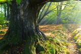 massive beech tree in a park - 175202330