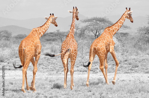 Obraz Fotograficzny Color isolation: three reticulated giraffes