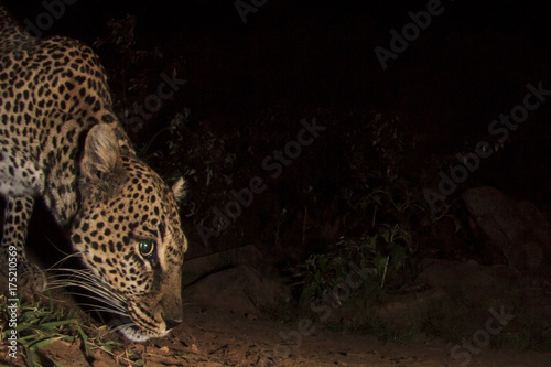 Fototapeta Leopard. Wild African Leopard at night