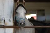 Portret konia czystej krwi arabskiej, koń stoi w otwartej stajnie i patrzy prosto w aparat - 175211565