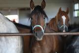 Młode konie czystej krwi arabskiej w stajni, patrzą ciekawie w obiektyw