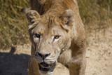 Female lion closeup - 175213109