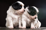 Two white puppies - 175222935