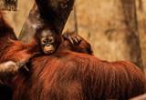 Mały orangutan - 175225100