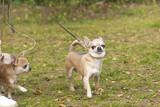 Chow-chow dog close-up - 175232348