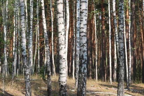 Fotobehang Berkenbos Beautiful birches in forest in early autumn