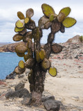 AMAZING CACTUS TREES ON SOUTH PLAZA ISLAND - GALAPAGOS, ECUADOR - 175241147