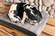 Gorgeous harlequin great dane dog curled up sleeping on his bed next to a fireplace with hardwood bamboo floors.