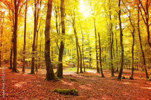 Fotobehang Geel Autumn German forest with sun beam.