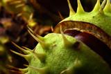 Autumn chestnut in the skin close-up - 175246782