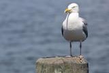 Common Gull (Larus Canus) - 175256724