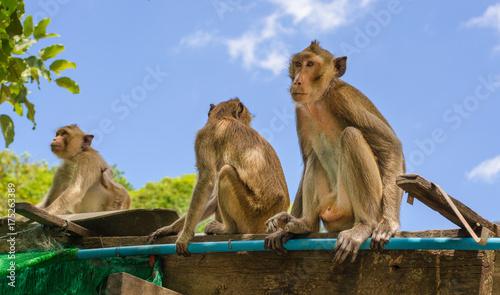 Fotobehang Aap Many monkeys sitting on a wood