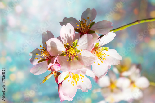 a branch of blossoming almonds Poster