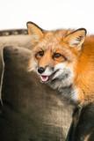 red fox indoor - 175264976