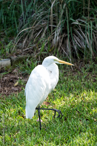 Heron or great egret walking on green grass in USA Poster