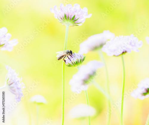 Fotobehang Zwavel geel Honeybee Seeking Pollen from Flowers in Garden