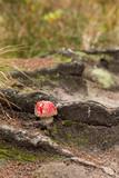 Amanita muscaria, Czech republic - 175272905