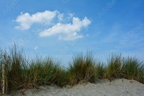 Deurstickers Noordzee Strandhafer in den Sanddünen an der Nordseeküste von den Niederlanden