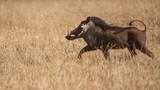 My friend the warthog trotting away - 175292921
