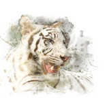 Closeup face of white bengal tiger. Watercolor painting (retouch). - 175302371