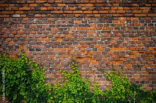 Staande foto Baksteen muur Vintage red brick wall background overgrown with ivy