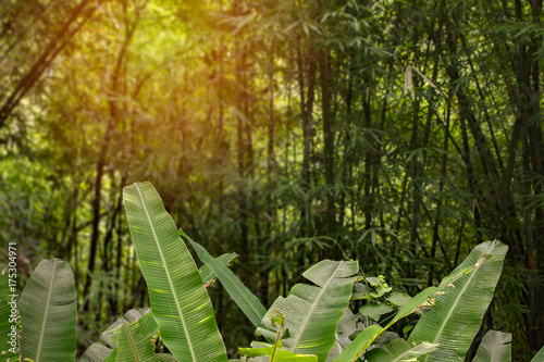Jungle greenery rainforest sunset with banana trees and bamboo with warm light Poster