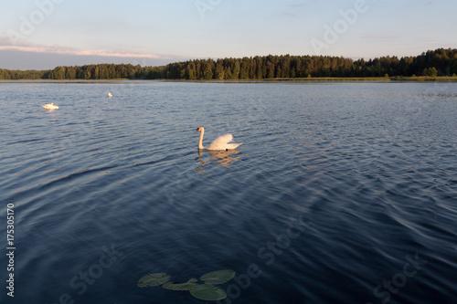 Fotobehang Zwaan Three white swans in a lake on sunset
