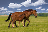 Sorrel horse and foal galop on the meadow - 175309363