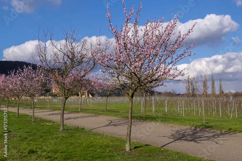 Blühende Mandelbäume (Prunus dulcis) Poster