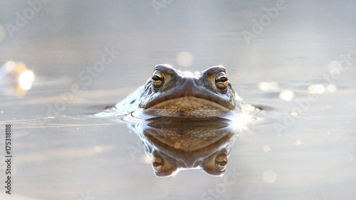 Aluminium Kikker frog in water nature wildlife outdoor