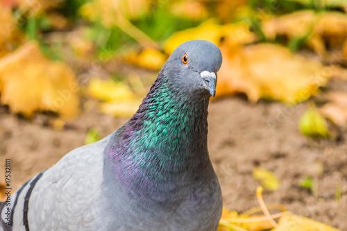Staande foto Kameleon Portrait of dove in autumn leaves. Bird view close. Pigeon season yellow fallen leaves.