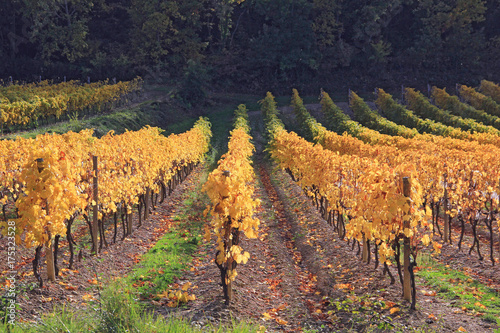 Deurstickers Cappuccino vignes à l'automne
