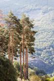 Pinos silvestres. Pinus sylvestris. Sierra de la Cabrera, León, España.  - 175324573
