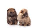 Spitz puppies. Pomeranian puppy dog on white background. Spitz dog on white background. Very small breed dog puppies. - 175326945