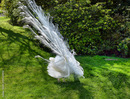 Fotobehang Pauw white peacock with flowing tail
