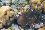 Juvenile blue angel fish - 175330760