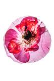 dry poppy flower - 175336953