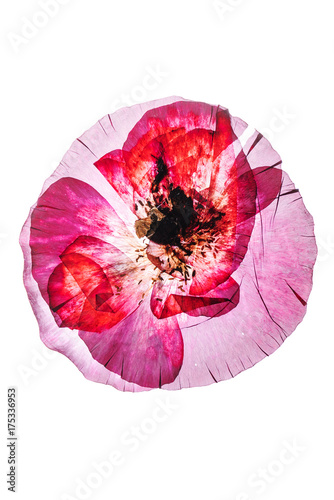 Foto op Canvas Klaprozen dry poppy flower