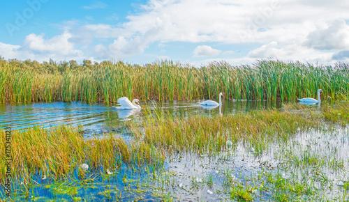 Fotobehang Zwaan Swans swimming along the shore of a lake in autumn