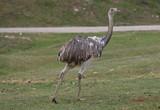 Ostrich (Struthio Camelus) (4) - 175342756