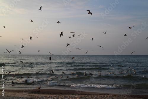 Mewy nad morzem Bałtyckim
