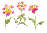 Watercolor Lantana flower set - 175351540