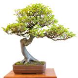 Buche als harmonischer Bonsai Baum - 175351987