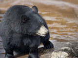 Black Bear near water - 175361798