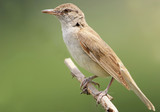 Extra close up portrait of great reed warbler on green blurred background. - 175364966